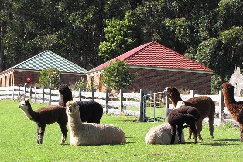 Herd of alpacas grazing in front of the brick cottage