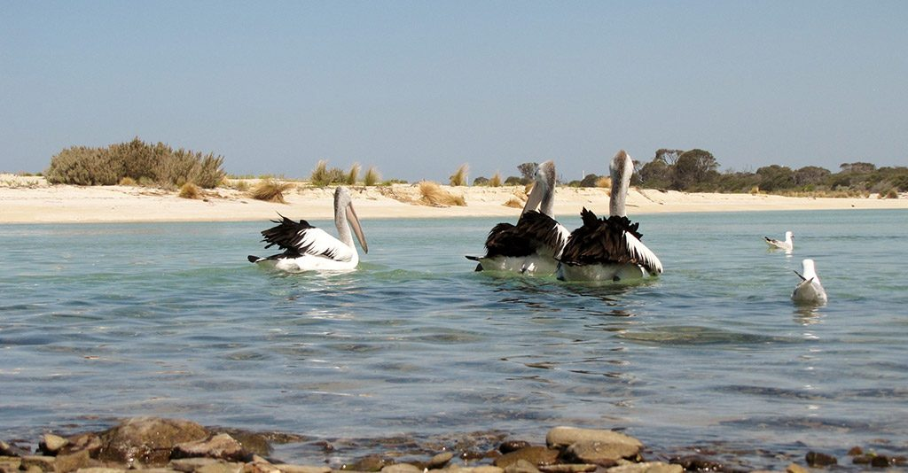 Three pelicans and two sea gulls on clear blue water with white-sand beach in the background, North East Tasmania