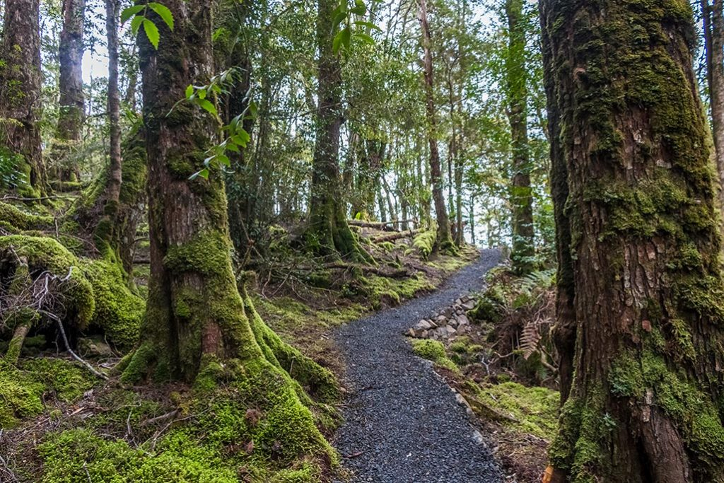 A gravel walking path is winding through myrtle temperate rain forest in mount Victoria forest reserve in North East Tasmania.