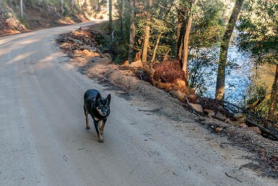 Black Kelpie, Rusty, walking beside the Ringarooma River at Tin Dragon Cottages