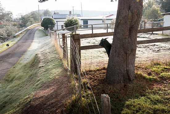 A black goat, behind the fence, keeping a close eye on Rusty the Kelpie