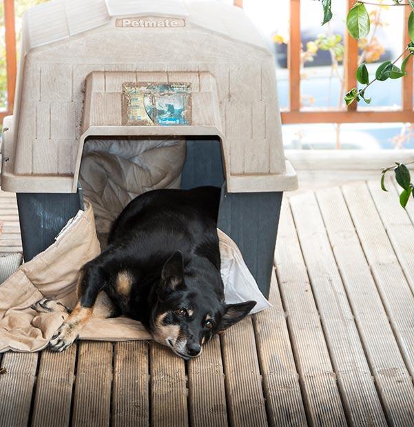 Rusty the Kelpie lying down in her kennel