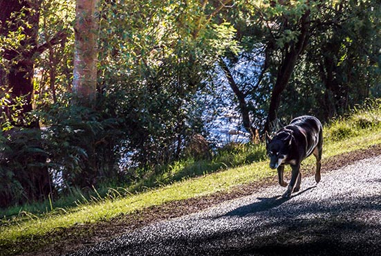 Rusty, the Kelpie, walking beside the Ringarooma River on her morning walk at Tin Dragon Cottages