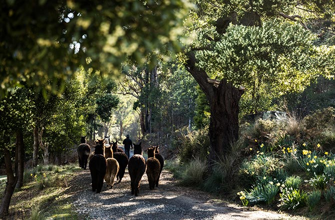 The alpacas follow Graham down the laneway in the early morning at Tin Dragon Cottages