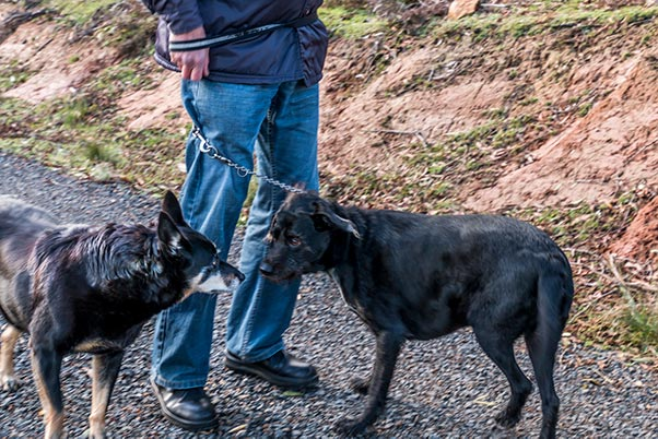 Rusty meeting another dog on her morning walk at Tin Dragon Cottages