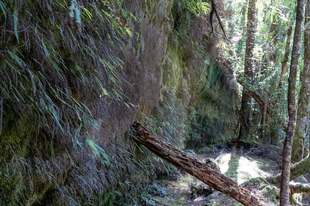 Rock wall covered in small ferns and mosses in the Mount Victoria forestry reserve, Tasmania