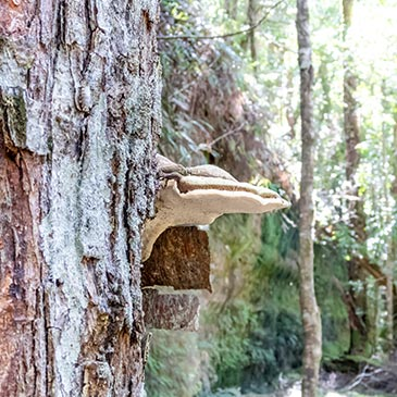 large white bracket fungi on the side of an old tress in the Mount Victoria Forestry reserve Tasmania