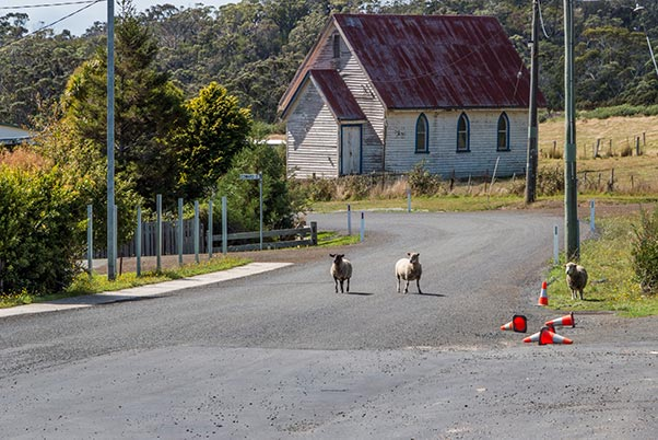 Two sheep on in the middle of the road with an old timber church in the background in Gladsone, Tasmania