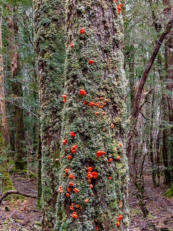 Trees lined with lichen and bright red fungi in the rainforest near Pine Valley Hut, Tasmania