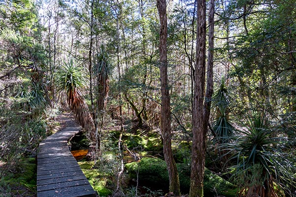 A board walk over a small stream in the rain forest - showing tall Pandani plants, and moss-covered rocks