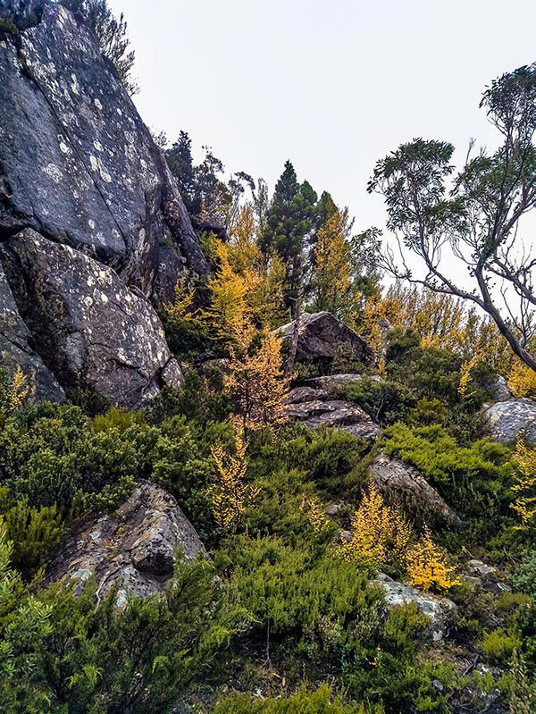 Deciduous Myrtle leaves turning yellow in The Labyrinth in the Cradle Mountain-Lake St Clair National Park