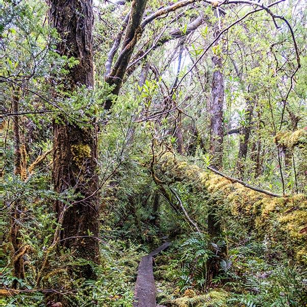Board walk through the dense rainforest