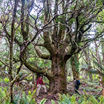 old myrtle tree on Mount Scott in North East Tasmania