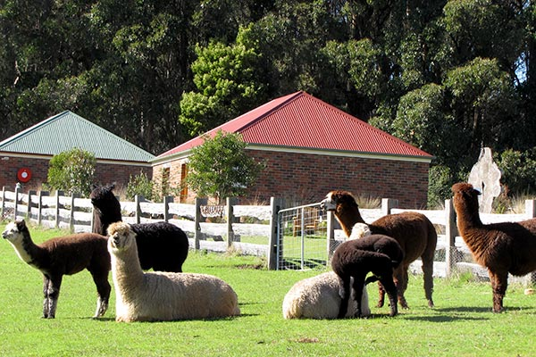 Six alpacas grazing outside Ah Ping cottage accommodation near Derby in Tasmania.
