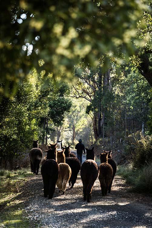 A herd of alpacas walking down a tree-lined lane.