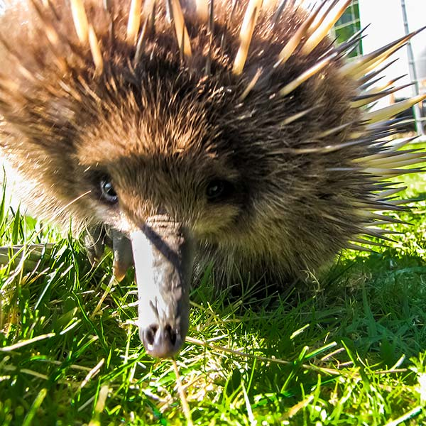 Echidna coming towards the camera so that you can see its eyes in the lens.