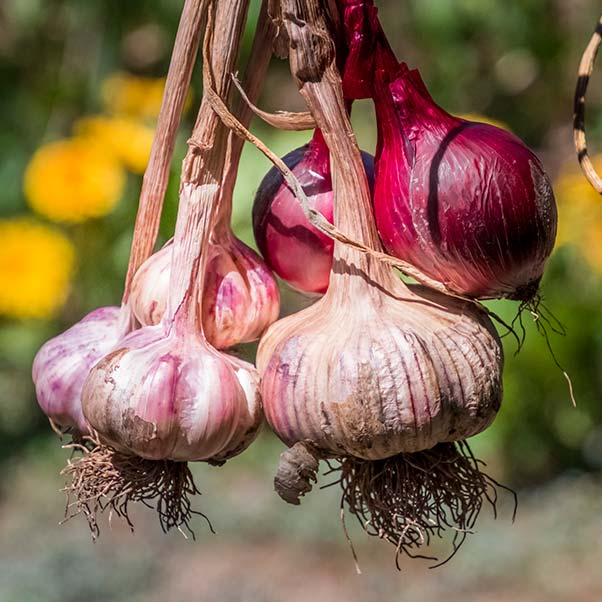 A bunch of purple garlic bulbs