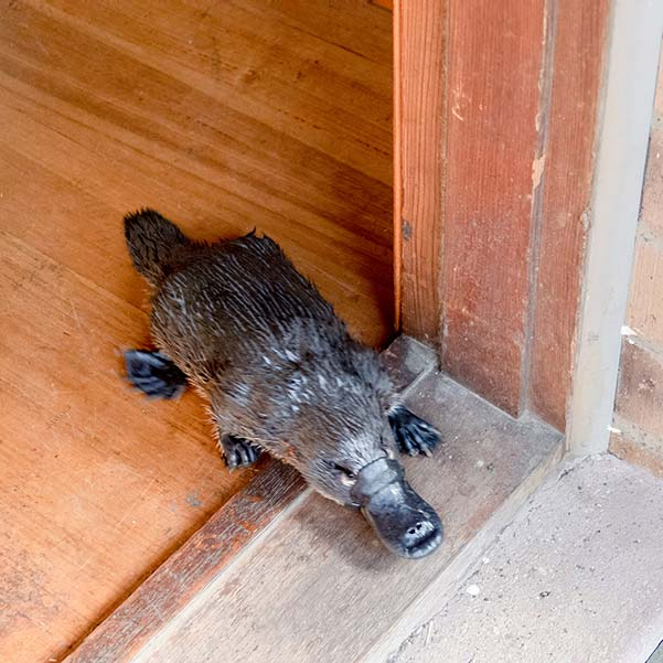 A platypus coming out through the front door of our house.