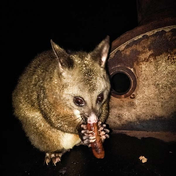 A brush tail possum sitting on the top of a bar-be-que plate eating a sausage.