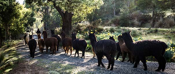 Graham leads a herd of alpacas down thew front lane of Tin Dragon Cottages