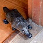 Platypus running out our back door.