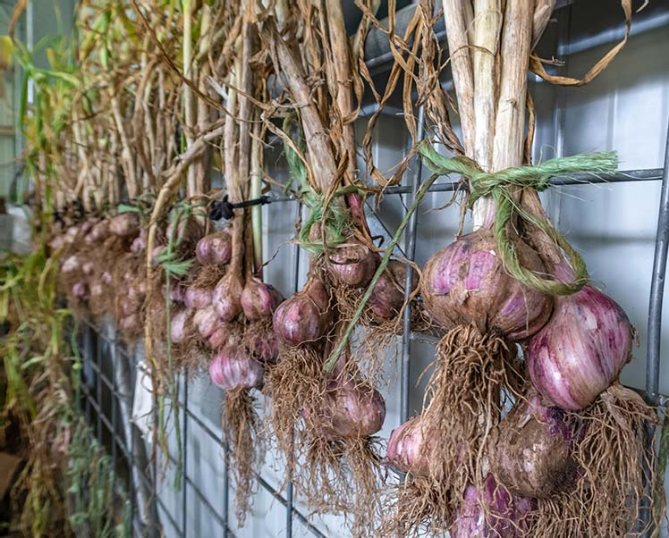 Groups of four or five garlic plants are tied with green rope and hanging for a metal frame in our machinery shed.