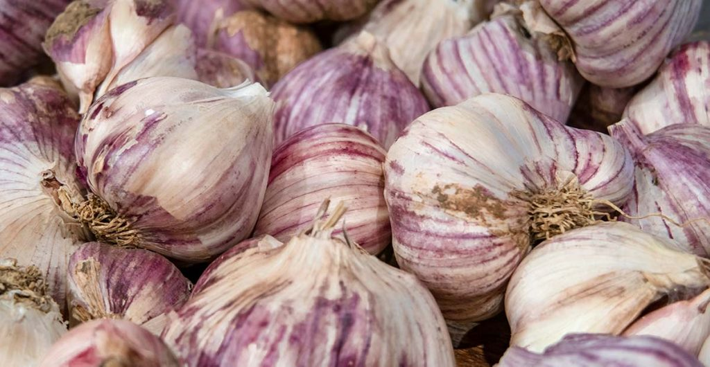 This is a close up photo of purple-stripe garlic bulbs: banner image for the blog- how to store garlic