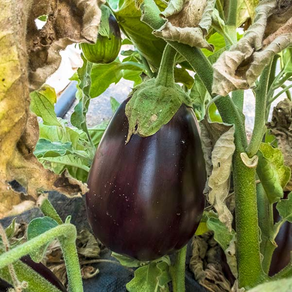 A plump purple egg plant fresh off the plant was used in the brinjal curry recipe.