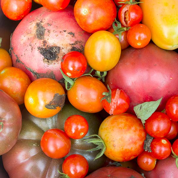 A collection of different coloured tomatoes picked fresh for inclusion in the brinjal curry recipe.