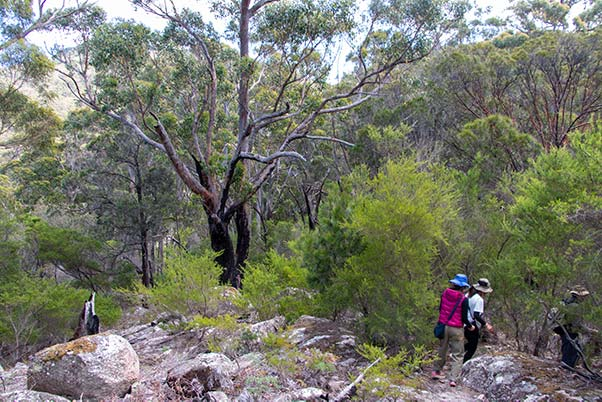 Three bushwalkers passing through native bush that shows the scars of a serious fire.