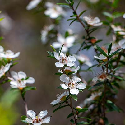 Close up of two delicate white tea tree blossoms