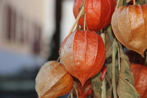 Ripe cape gooseberries on a bush look like papery orange lanterns, with a golden fruit inside.