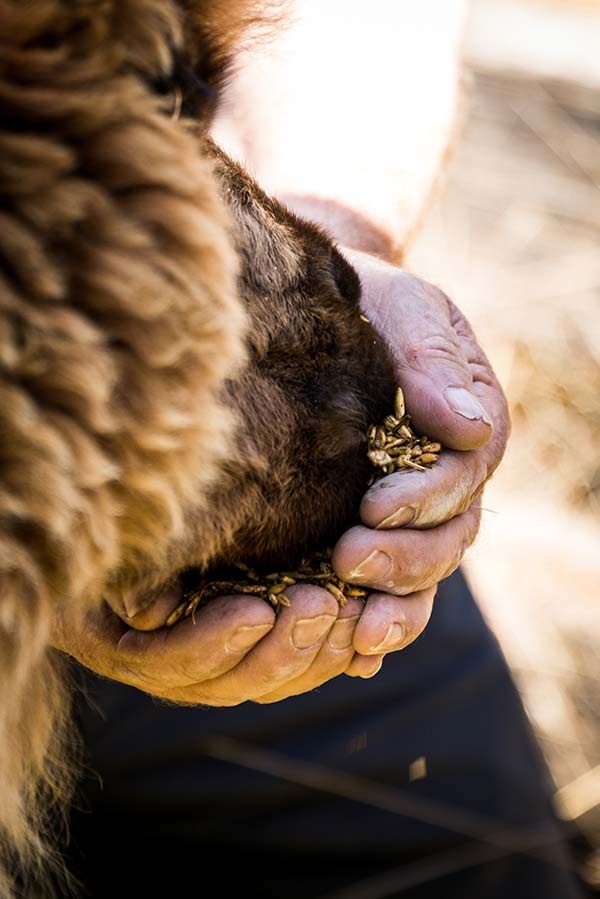 Close-up of a guest feeding an alpaca at the Tin Dragon Cottages Farmstay.