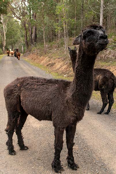 Camelia the female alpaca aged 17 years, standing her ground and ready to spit.