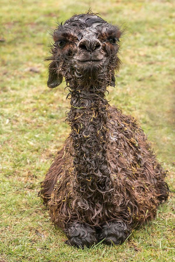 Newly born brown alpaca cria at the Tin Dragon Cottages farmstay.