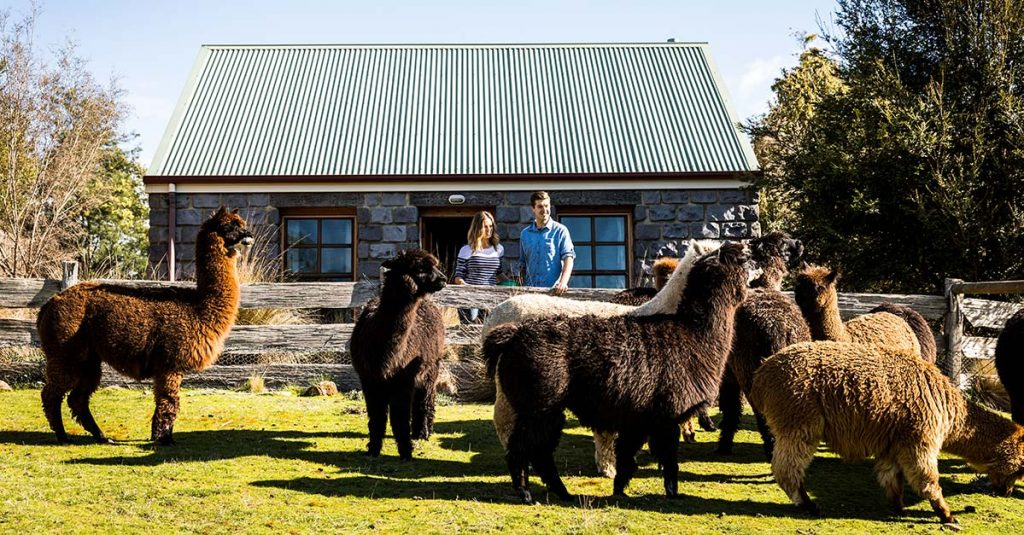 Guests at Tin Dragon Cottages alpaca farmstay standing in front of their cottage with a herd of alpacas.