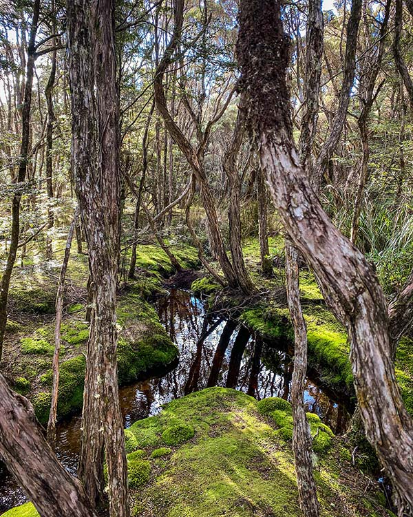 Mossy covered banks of a small stream in the Blue Tiers are surrounded by tea tree forest - from our road trip ion Tasmania