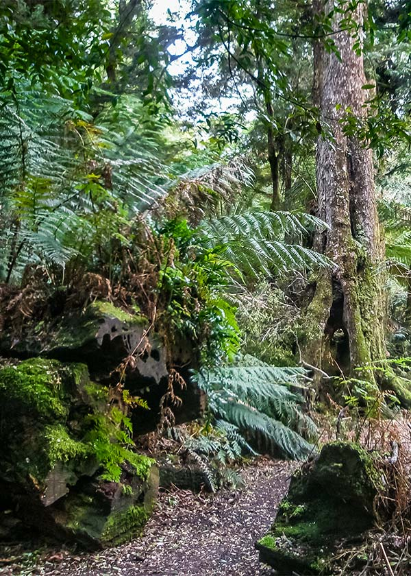 Ferns and myrtle trees along the path in the Myrtle Forest - Tasmania road trip