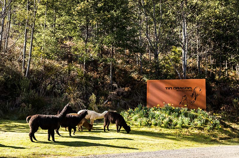 Six alpacas grazing in front of the Tin Dragon Trail Cottages sign at the entrance to the property.